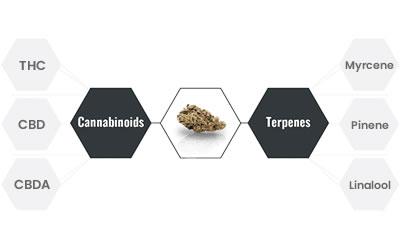 entourage effect cannabinoids terpenes