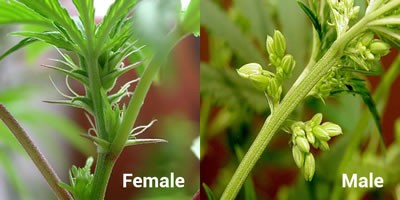 Male and Female Cannabis Plants